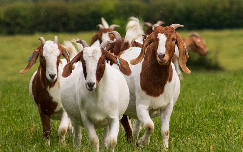 pack of goats
